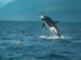 Orca Whale Jumps on a Kayak
