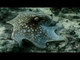 Underwater Chromatophores | Outrageous Acts of Science
