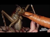 Weird Giant Insect