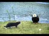 Hilarious Cat vs Eagle thoughts