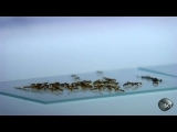 Super Organism Ants | Through the Wormhole with Morgan Freeman